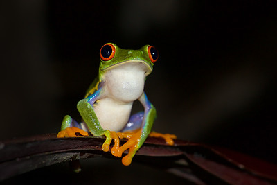 Red Eyed Tree Frog; Costa Rica