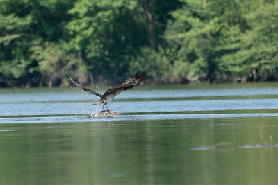 Osprey with too large Bass