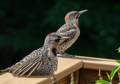 Fledgeling Northern Flicker with Dad
