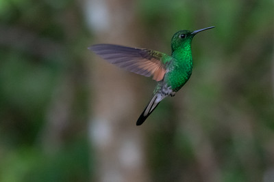 Stripe Tailed Hummingbird