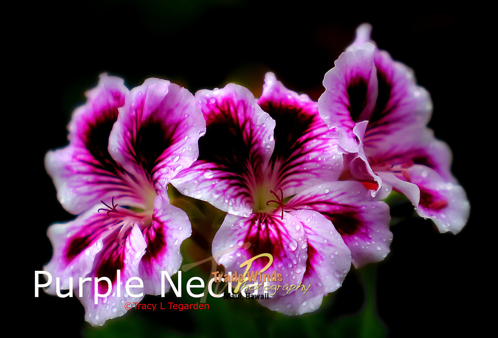 Purple Nectar