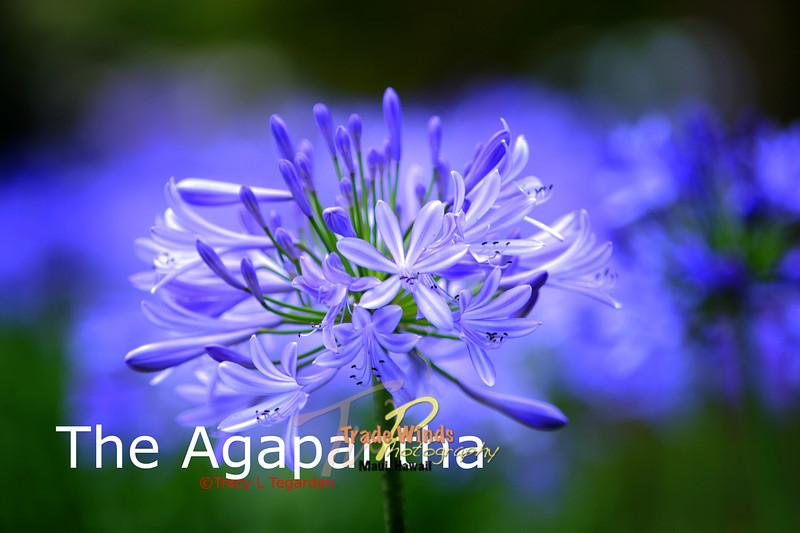 The Agapantha