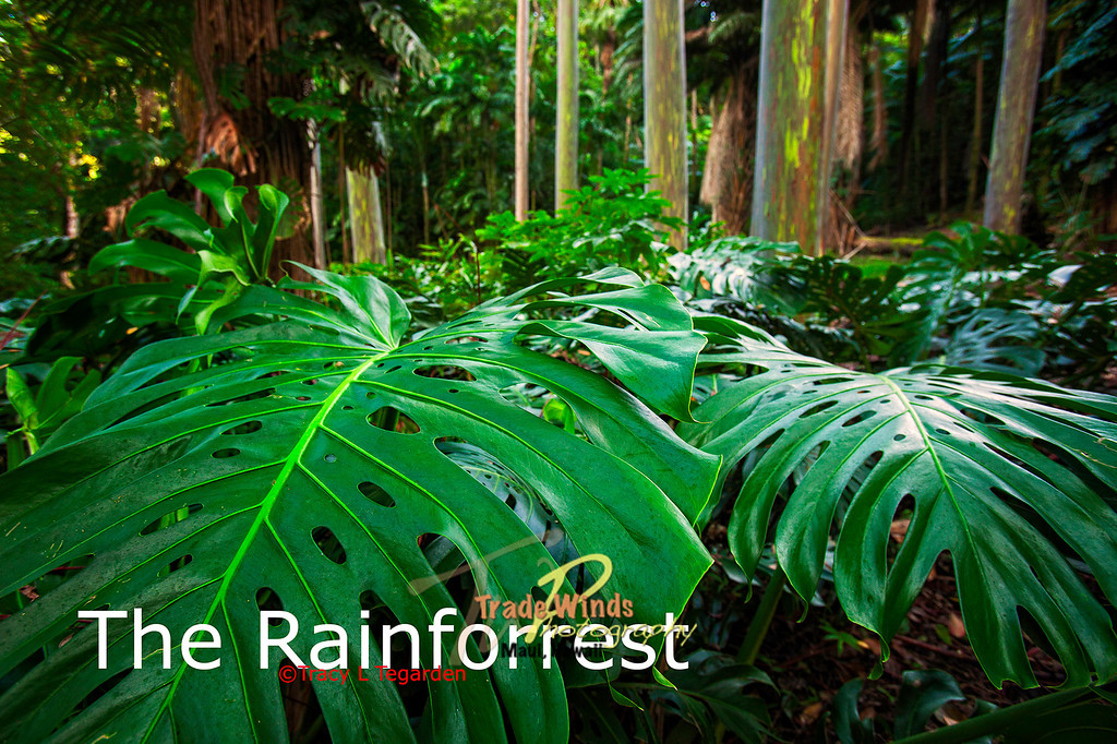 The Rainforrest
