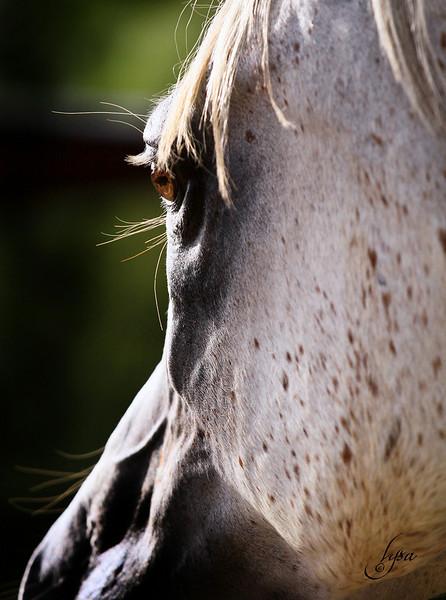 Aria Arabians