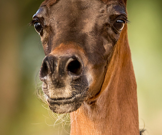 Erin Naas ~ Dolce Cavallo Arabians