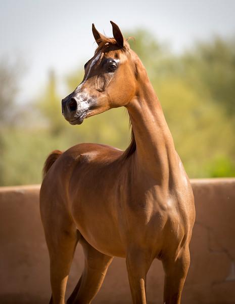 Al Maliik filly