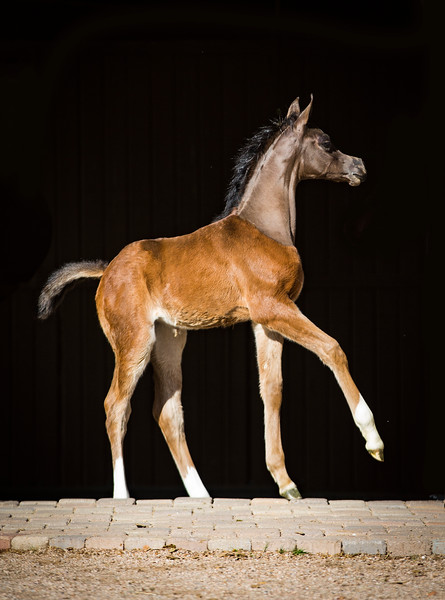 QR Marc filly