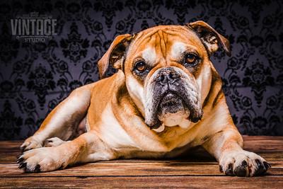 Lustige Hundefotos im Fotostudio