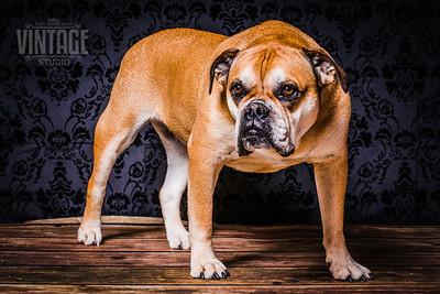 Hundefotografie im Fotostudio Schweiz