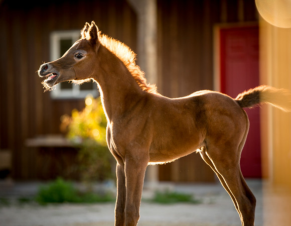 Chestnut Filly