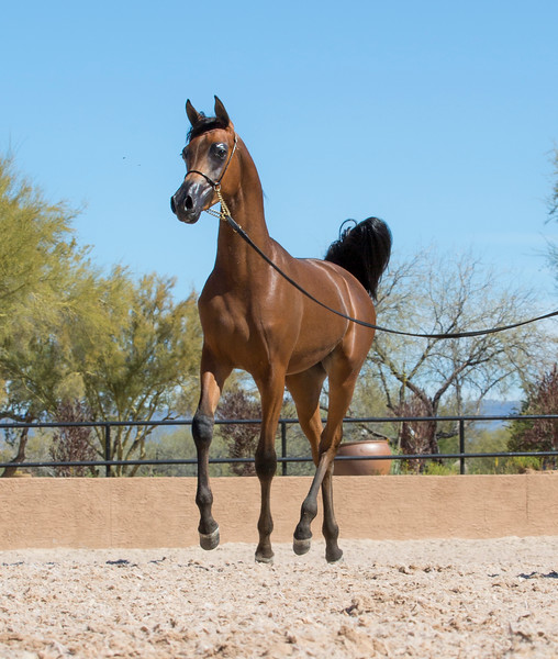 Bay Yearling Colt