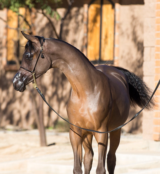 Royal T Arabians