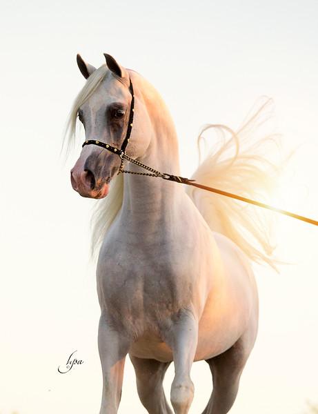 Steve Heathcott Arabians