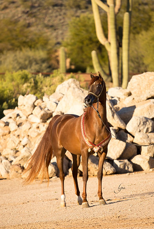Chestnut mare (evening shoot)