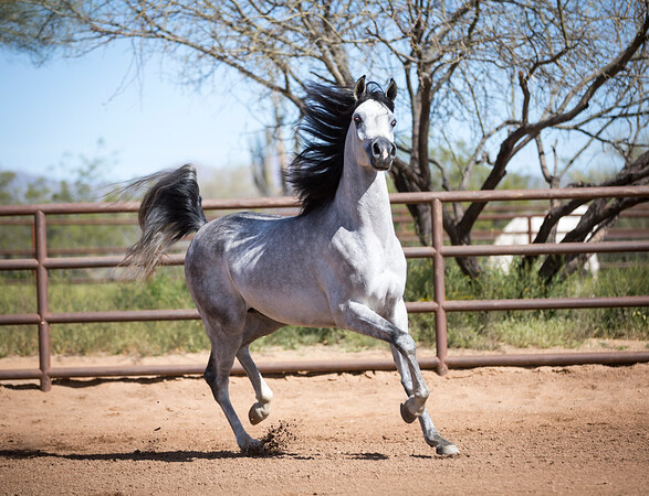 Grey SE Stallion