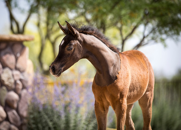 Lady Magnum Filly