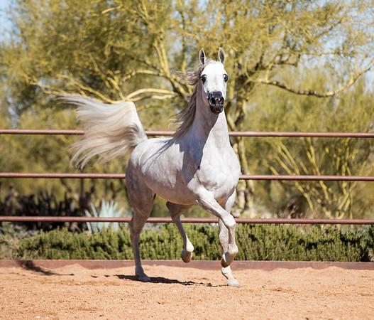 Stonewall Farm Arabians