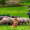 49. Bizkaiko Artzain Txakurren Txapelketa (Mungia, Bizkaia)<br /> Basque shepherd