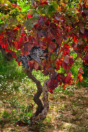 Mahats-bilketa (Arabako Errioxa)<br /> Grape Harvest Season (Errioxa, Araba)