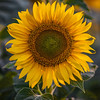 Following the sun like a sunflower