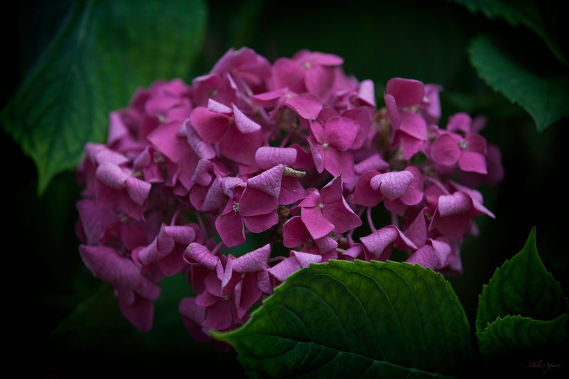 Uncovering the hortensia
