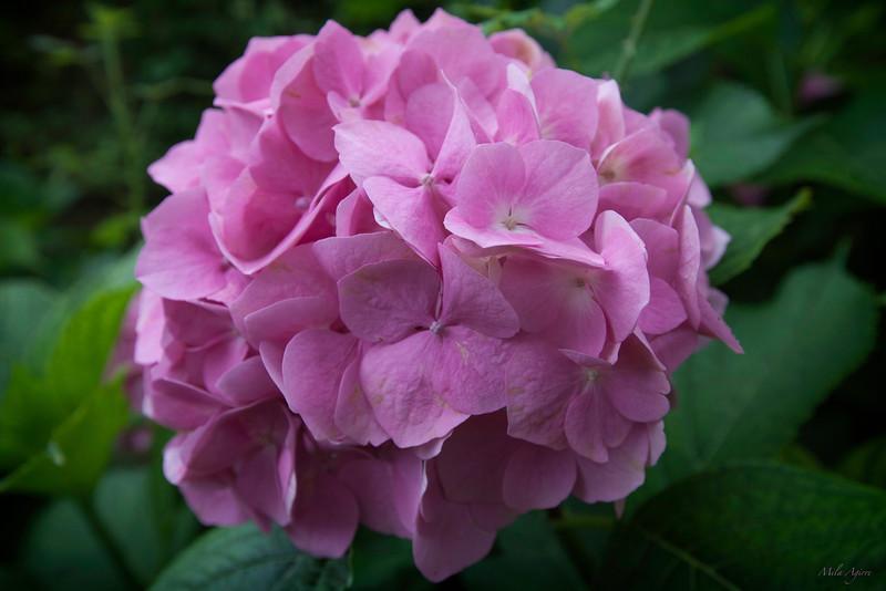 Beautiful hortensia