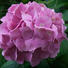 Beautiful hortensia