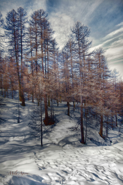 The cold wind of the mountain blows among the trees