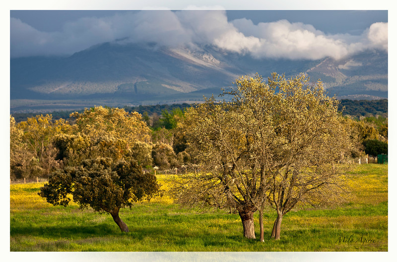 The beauty of the Dehesa (a type of wooded pastureland found in the Iberian peninsula)