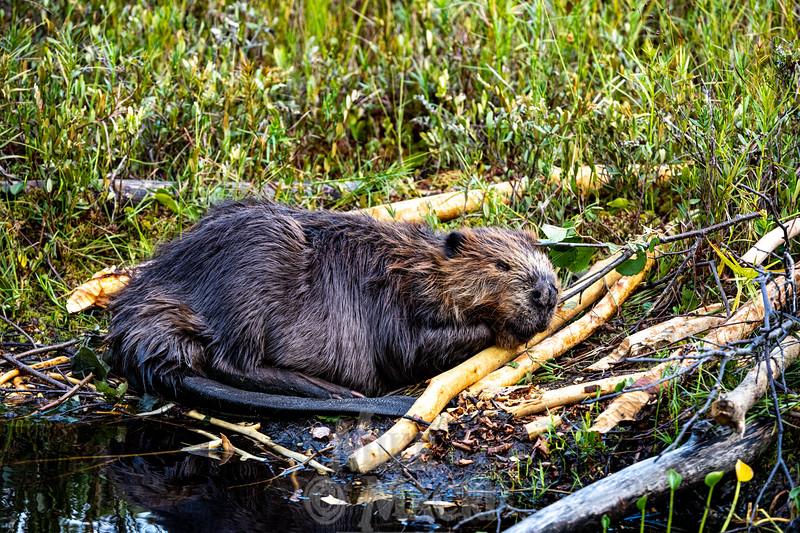 Lazy Beaver