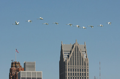 "Swans on a ""flypast"" along Detroit River in downtown Detroit"