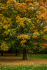 A yellow tree in full autumn color along the Rockcliffe Parkway in Ottawa, Ontario, Canada.