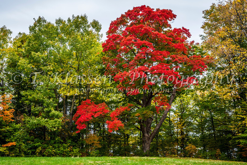 A red maple tree in full autumn color along the Rockcliffe Parkway in Ottawa, Ontario, Canada.