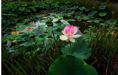 Lilly Pond Beauty, Wilkesport Ont