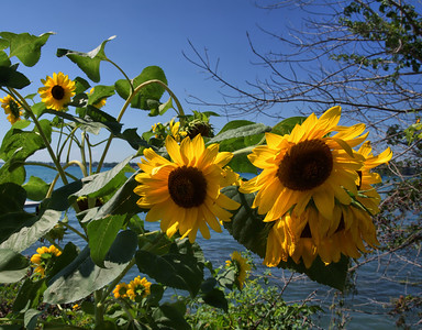 Sunflowers in the Sun, Sombra, Ont