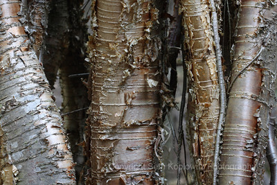 Peeling Away, Early Spring – Algonquin (2009)