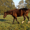 Caption: Zenyatta at Lane's End Farm, early morning on Oct. 5, 2011, near Versailles, Ky.<br /> Origs2 image403<br /> Photo by Anne M. Eberhardt