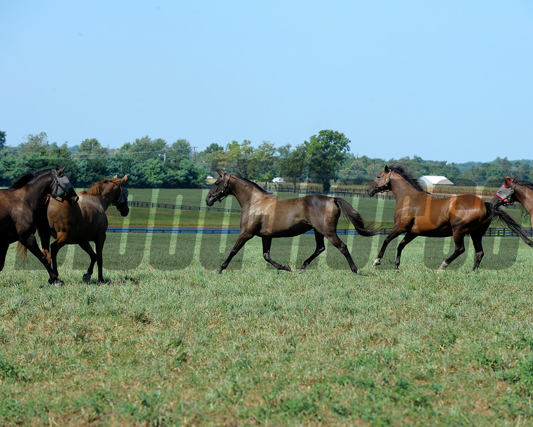 Caption: Sweet Life, center, leads the way with other mares following the Broodmare of the Year. Sweet Life is the dam of champion Sweet Catomine and 2009 Breeders' Cup Ladies' Classic winner Life Is Sweet. <br /> Charles Campbell handles Sweet Life at Lane's End near Versailles, Ky. on Aug. 17, 2010.<br /> image 964<br /> Photo by Anne M. Eberhardt