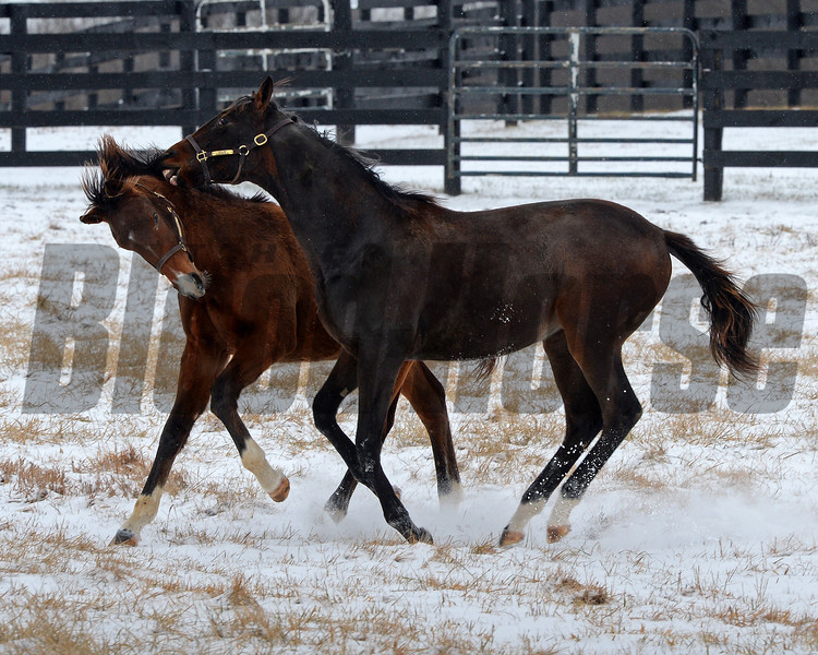 Yearlings at WinStar Farm in Versailles, Ky. on Jan. 13, 2018. Carpe Diem from Courtly Choice on left.