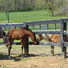 Buddy interacting with one of the foals.<br /> Steve Haskin Photo