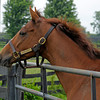 Caption:  <br /> Rapid Redux after his recent arrival at Old Friends near Georgetown, Ky. on June 1, 2012.<br /> RapidRedux image405<br /> PHoto by Anne M. Eberhardt