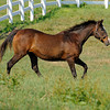 Caption: <br /> Twilight Ridge, 1985 Breeders' Cup Juvenile Filly winner, is now 29 years old and resides at Mike Rutherford's Manchester Farm near Lexington, Ky. The mare was photographed on the farm on June 29, 2012.<br /> TwilightRidgeOrigs 1 image485<br /> Anne M. Eberhardt photo