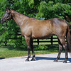 Caption: Sweet Life, Broodmare of the Year, in a conformation pose. In foal to Street Cry, Sweet Life is the dam of champion Sweet Catomine and 2009 Breeders' Cup Ladies' Classic winner Life Is Sweet. <br /> Charles Campbell handles Sweet Life at Lane's End near Versailles, Ky. on Aug. 17, 2010.<br /> image 909<br /> Photo by Anne M. Eberhardt