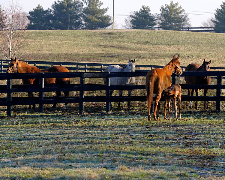 Caption: <br /> Dreaming of Anna and her 2011 colt by Medaglia d'Oro (born Feb. 21, 2011) at Dr. Gary Priest's Woodspring Farm near Versailles, Ky. on March 2, 2011.<br /> TTLBLOG photos Dreaming of Anna image782<br /> Photo by Anne M. Eberhardt