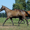 Caption: Sweet Life, center, enters her field with Perfectly Pretty following the Broodmare of the Year. Sweet Life is the dam of champion Sweet Catomine and 2009 Breeders' Cup Ladies' Classic winner Life Is Sweet. <br /> Charles Campbell handles Sweet Life at Lane's End near Versailles, Ky. on Aug. 17, 2010.<br /> image 9955<br /> Photo by Anne M. Eberhardt