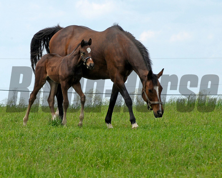 Caption:  Supercharger with her 2011 Tiznow colt born on March 30, 2011, at WinStar Farm near Versailles, Ky. <br /> Kentucky Derby and Kentucky Oaks contenders on the track at Churchill Downs near Louisville, Ky. on April 29, 2011<br /> KyDerbyWorks20114_29_11Works1  image568<br /> Photo by Anne M. Eberhardt