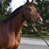 Rigoletta ( in foal to Medaglia d'Oro) are owned by the Nygaards and boarded at Chesapeake Farm near Lexington, Ky. on Oct. 19, 2016.