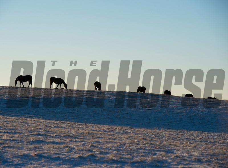 Mares eat hay in a field on Mill Ridge Farm near Lexington, Ky. on Jan. 3, 2014.<br /> Winter Scenes01_03_14 image 4627<br /> Photo by Anne M Eberhardt