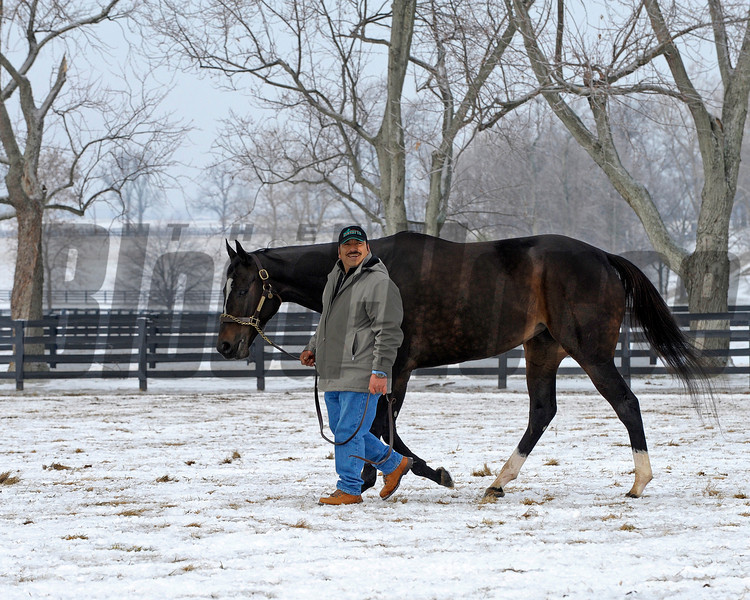 Caption: Like he did at the track, groom Mario Espinoza walks Zenyatta.<br /> Zenyatta goes out to her paddock on December 20, 2010, at Lane's End Farm near Versailles, Ky.<br /> ZenyattaDec2010 Origs 3 image547<br /> Photo by Anne M. Eberhardt