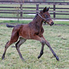 The first foals by track record-breaking sprinter Bated Breath (Dansili) are on the ground. Bated Breath's second foal was another bay filly, out of Cat O'Nine Tails (Motivator) – a winning half-sister to Group 3 winner Purr Along (recently sold at Tattersalls for 1 million guineas). She arrived on 17th January at Aston Mullins Stud.<br /> Thoroughbred Photography/Trevor Jones.